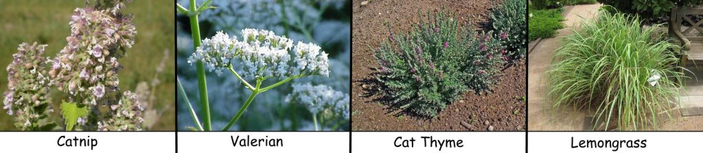 Cat attracting plants: Catnip, Valerian, Cat thyme, Lemongrass.