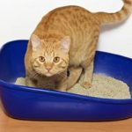 What to do if your cat has blood in his urine
