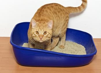 ginger cat inside a litter box