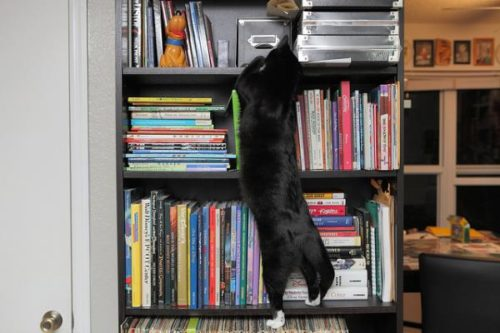 Cat climbing bookshelves