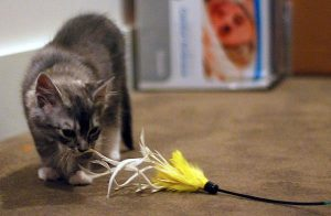 Aggressive cat playing with a feather toy