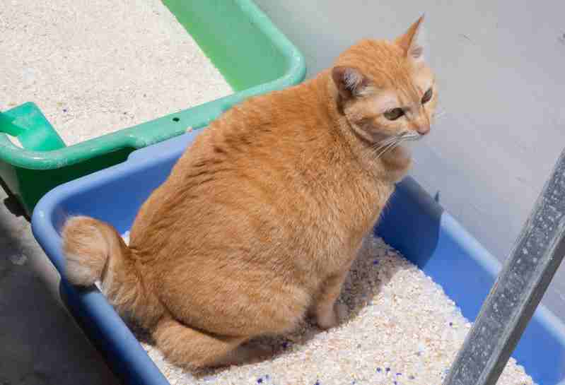 ginger cat straining to urinate and peeing blood in a litter box