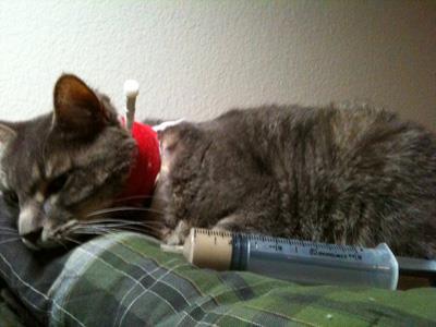 Treatment of feline hepatic lipidosis