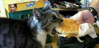 this cat wants to eat all the time and is stealing a burger
