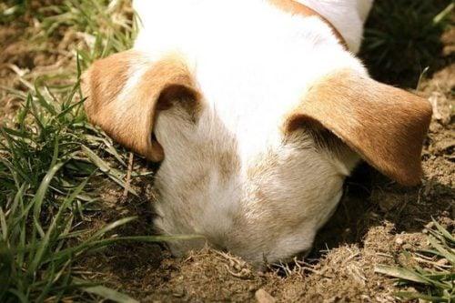 Dog digging hole in garden