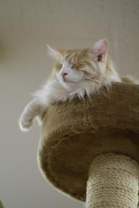A confident cat napping on top of a cat tree