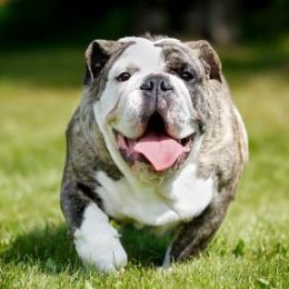 Obese English bulldog