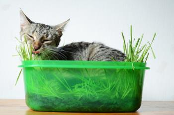 cat eating kitty grass and nappin in the pot
