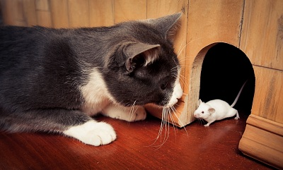 Cat hunting a mouse