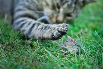 "cat ""playing"" with a live mouse"