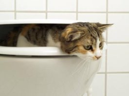 cat climbing out of toilet after drinking toilet water