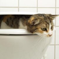 How to stop your cat from drinking toilet water