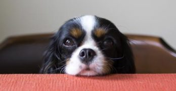 Cavalier King Charles Spaniel dog begging for food at the table