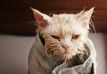 white cat wrapped in a towel