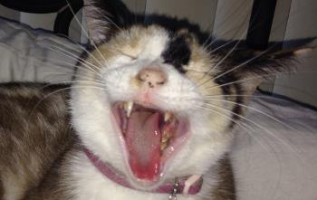 A cat yawning and reveling tartar on his teeth