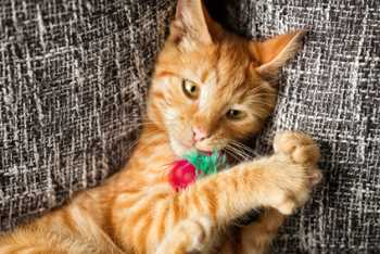 Orange tabby cat chewing a feather toy