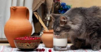 Is it okay to give milk to your cat?