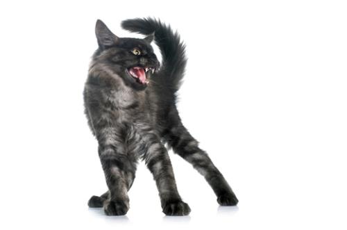 Fearfully aggressive Maine Coon cat