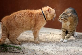 A bully cat threatening fearful cat