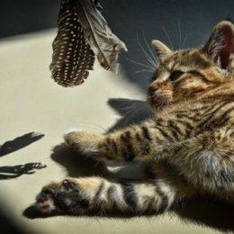 """Raisin the kitten playitn with """"daBird"""" interactive cat toy"""
