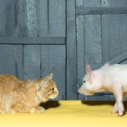 cat observing a piglet