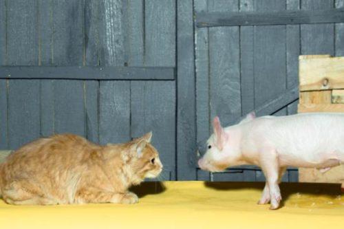cat observing a piglet