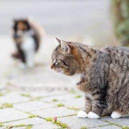 Aggressive intact male cat