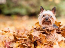female dog in autumn leaves