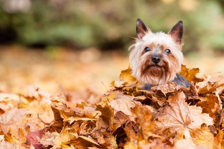 female dog in autumn leaves