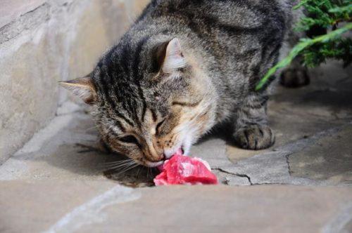 Senior cat eating raw food