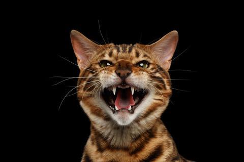 aggressive cat hissing funny