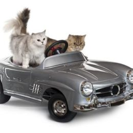 Two cats riding a car