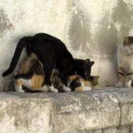 A male cat mounting another cat