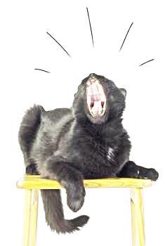 Black cat meowing