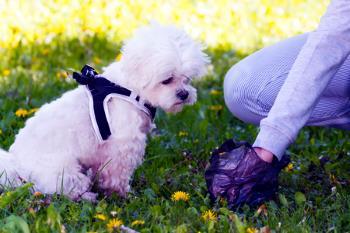 Cleaning up after dog wit ha plastic bag