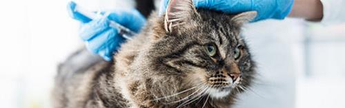 a cat receiving vaccine