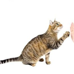 How to train a cat to give you a high five