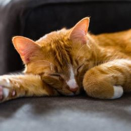 an orange tabby cat sleeping