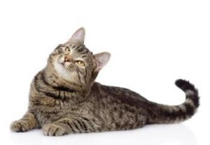 gray tabby cat lying down