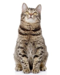 gray tabby cat sitting on a command