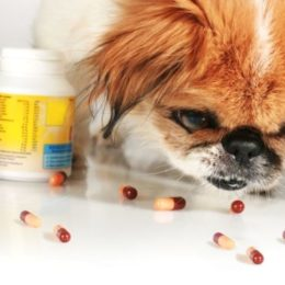 dog eating placebo pills