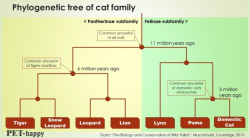 Phylogenetic family tree of cats, lions, tigers, pumas...