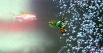 Air bubbles in aquarium. Guppy and red fish.