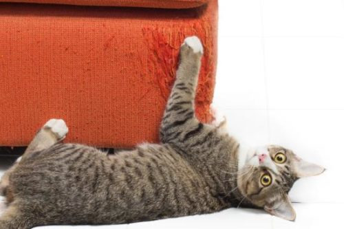 Kitten scratches orange fabric sofa on white background