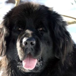 a female Newfoundland dog in heat