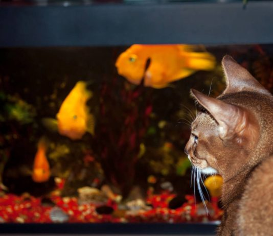 Abyssinian cat watching colored fish in a tank
