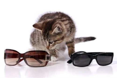 cat choosing sunglasses
