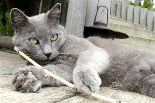 cat playing wit ha stick