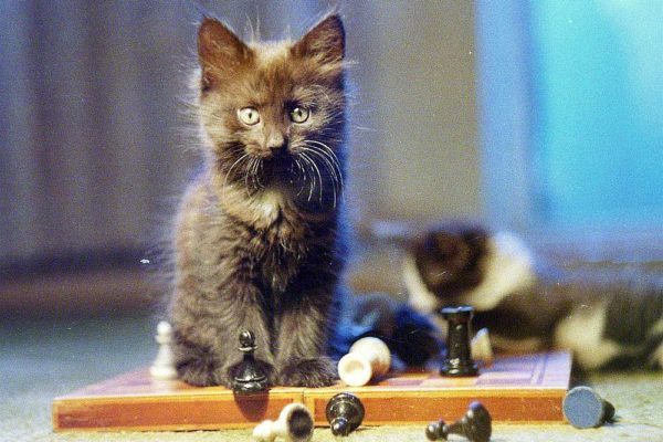 smart cat on a chess board