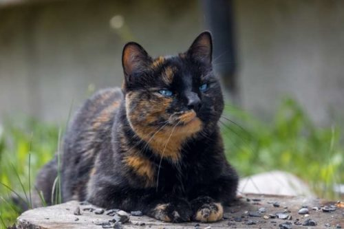 tortoiseshell female cat